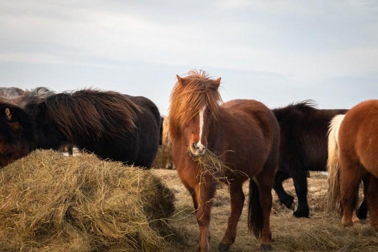 Islandpferd / icelandic horse - Tierprints / Animal Prints