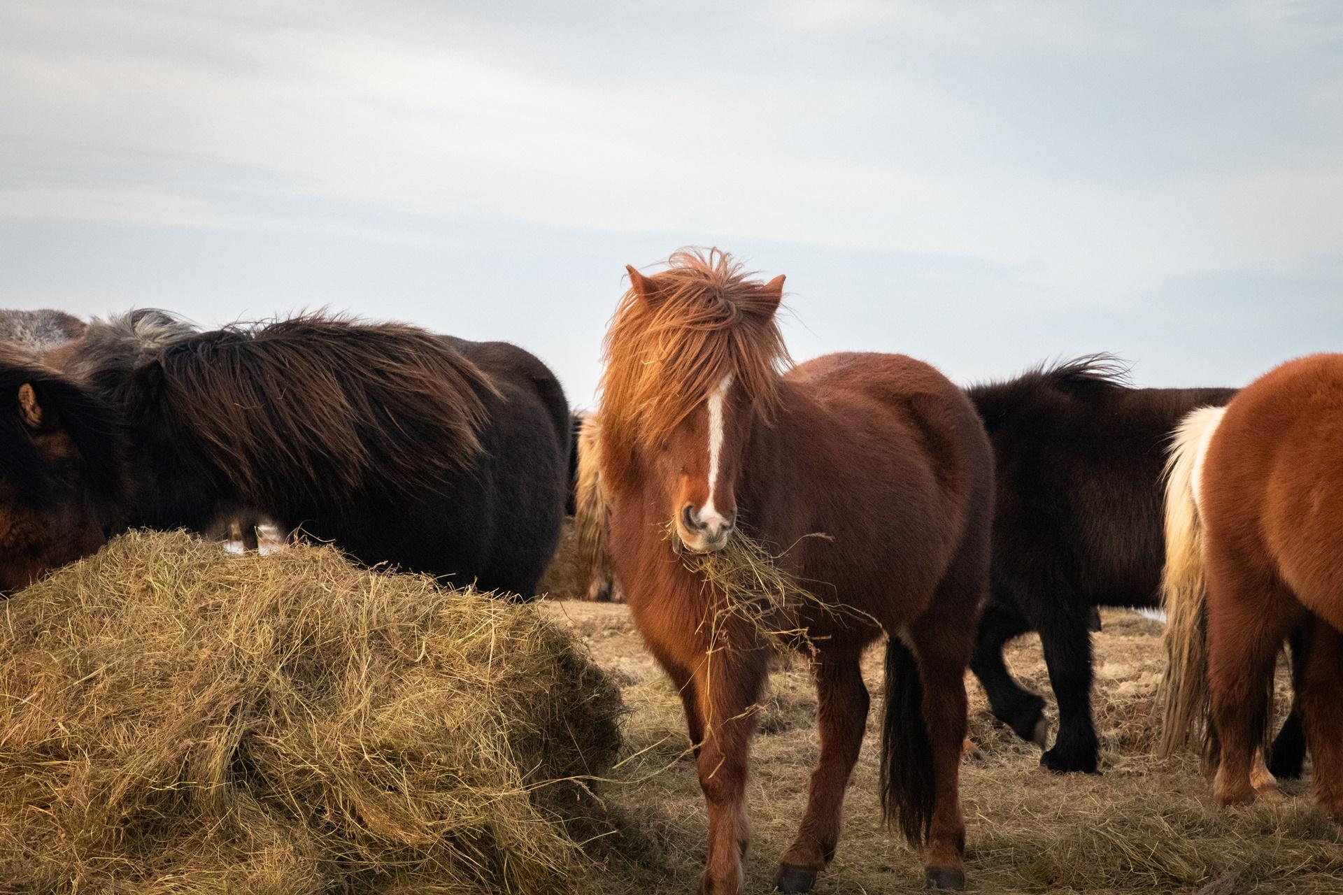 Islandpferd icelandic horse