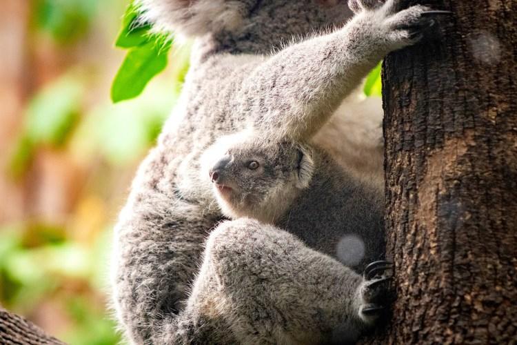 Baby Koala - Tierprints / Animal Prints