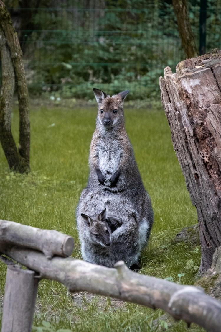 Känguru / Kangoroo - Tierprints / Animal Prints