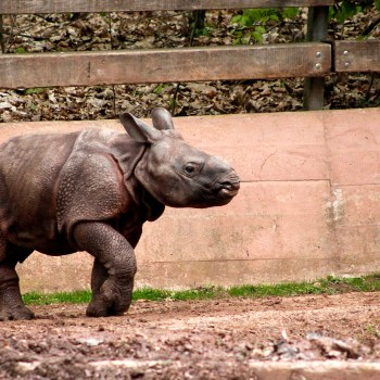Baby Panzernashorn / Baby Indian Rhino - Tierprints / Animal Prints
