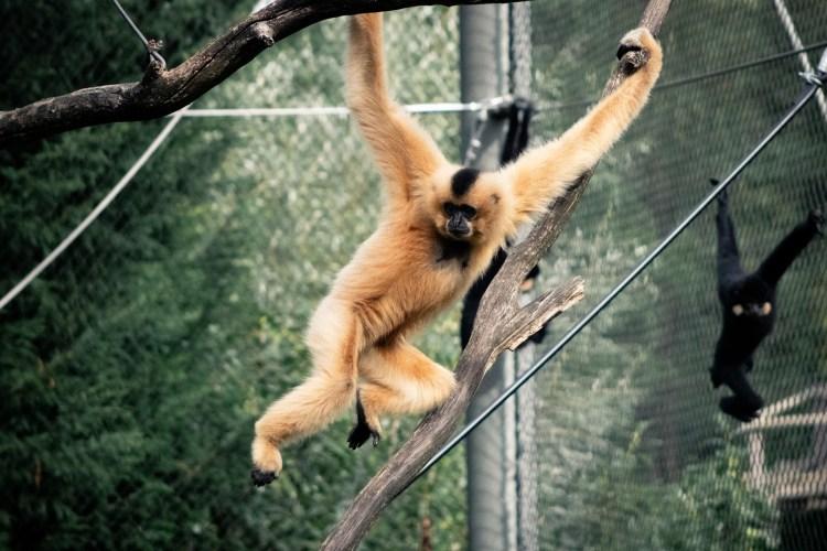 Gibbon - Tierprints / Animal Prints
