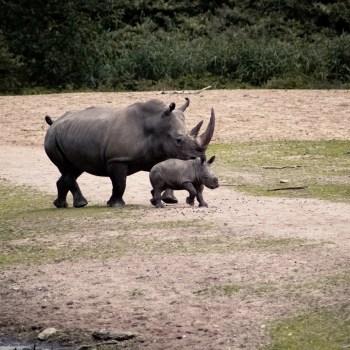 Nashornfamilie / Rhino Family - Tierprints / Animal Prints