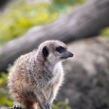 Erdmännchen / Meerkat - Tierprints / Animal Prints