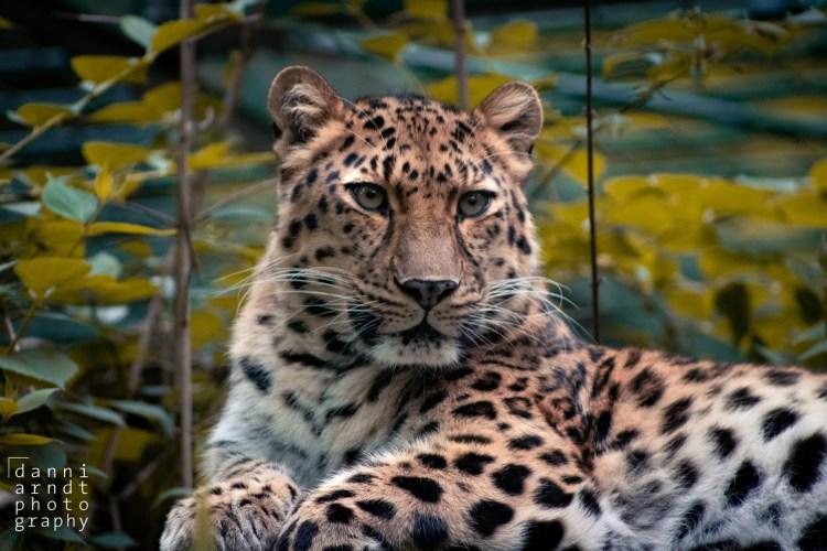 Leopard - Tierprints / Animal Prints
