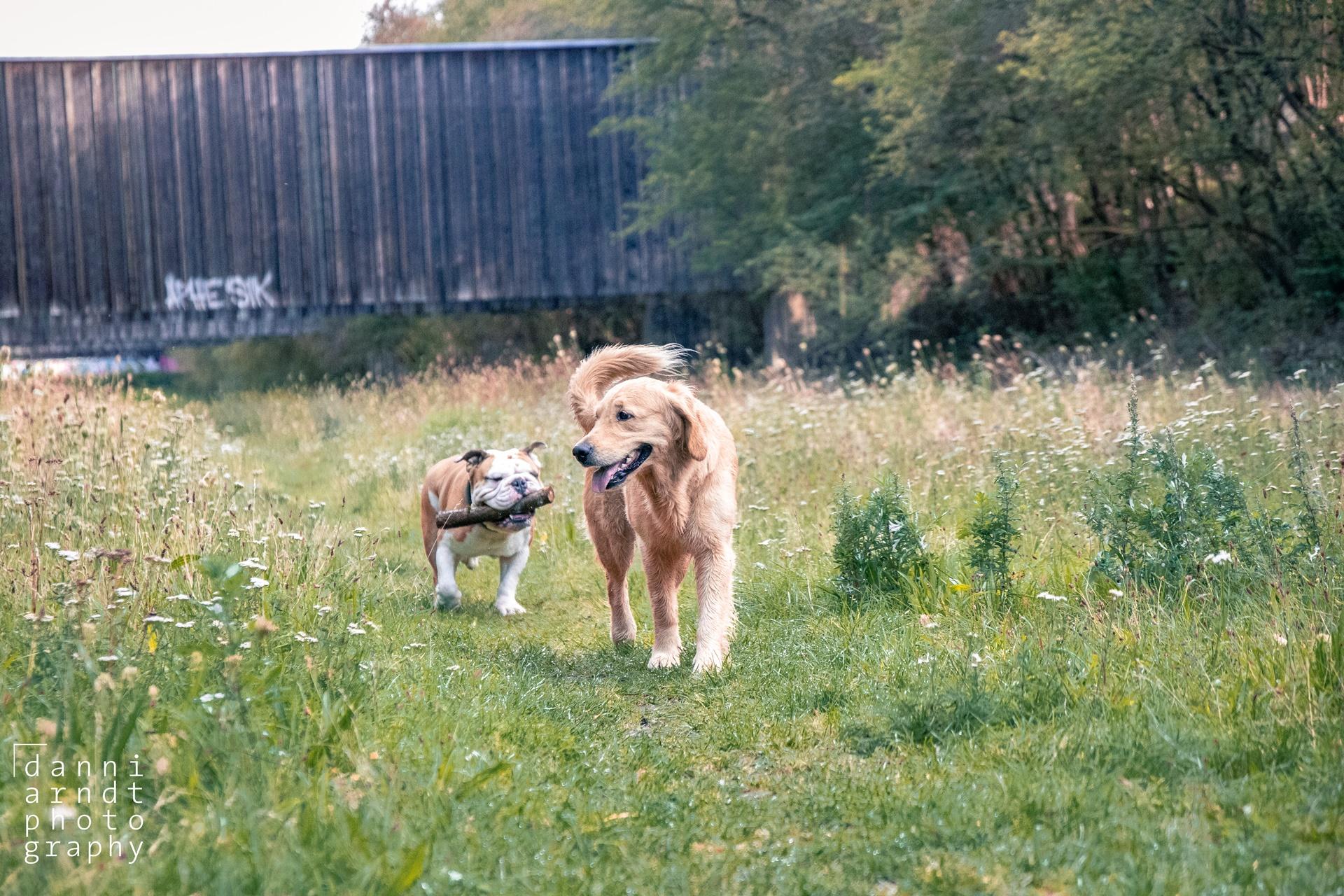 Golden Retriever and American Bulldog