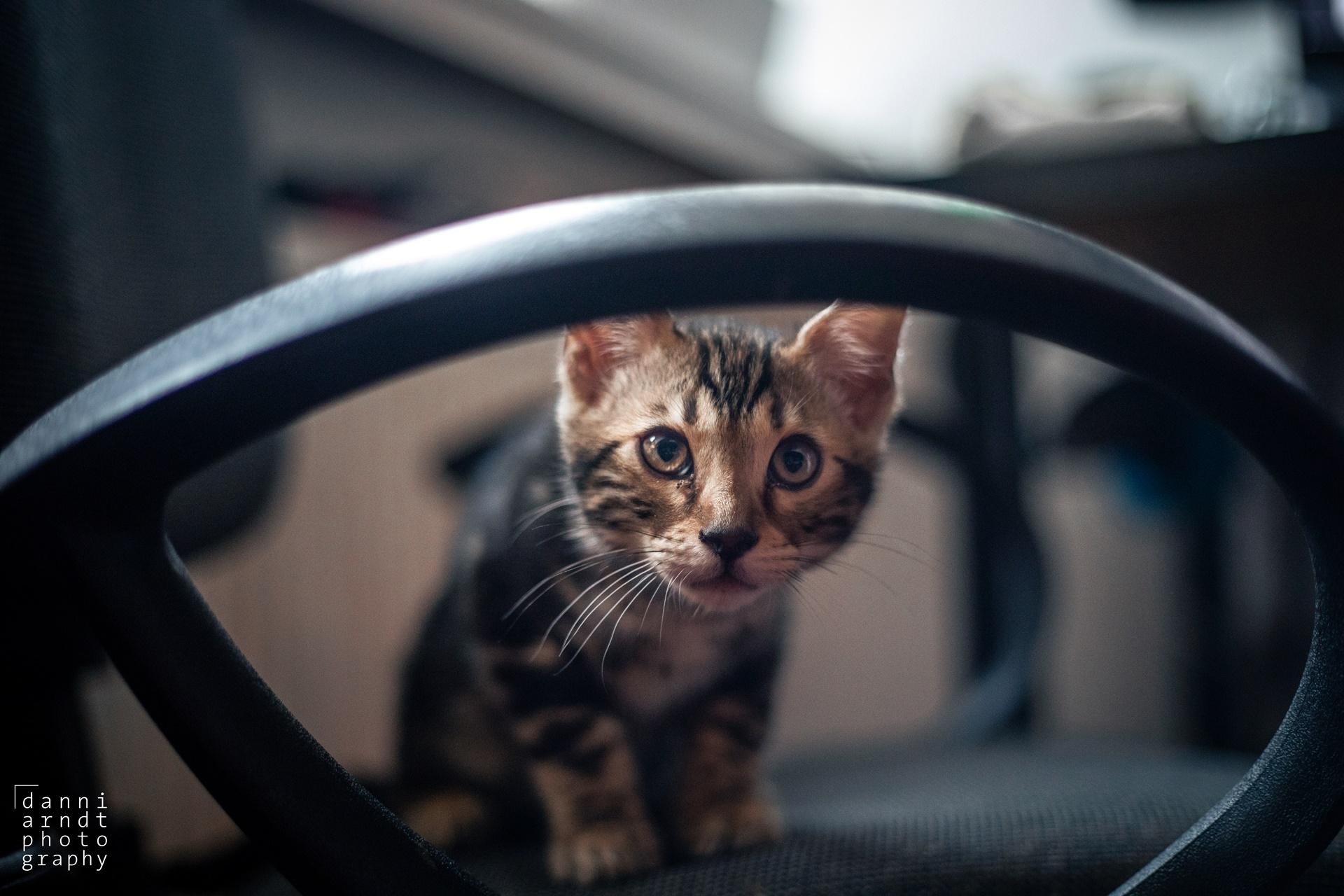Bengal Kitten Chair