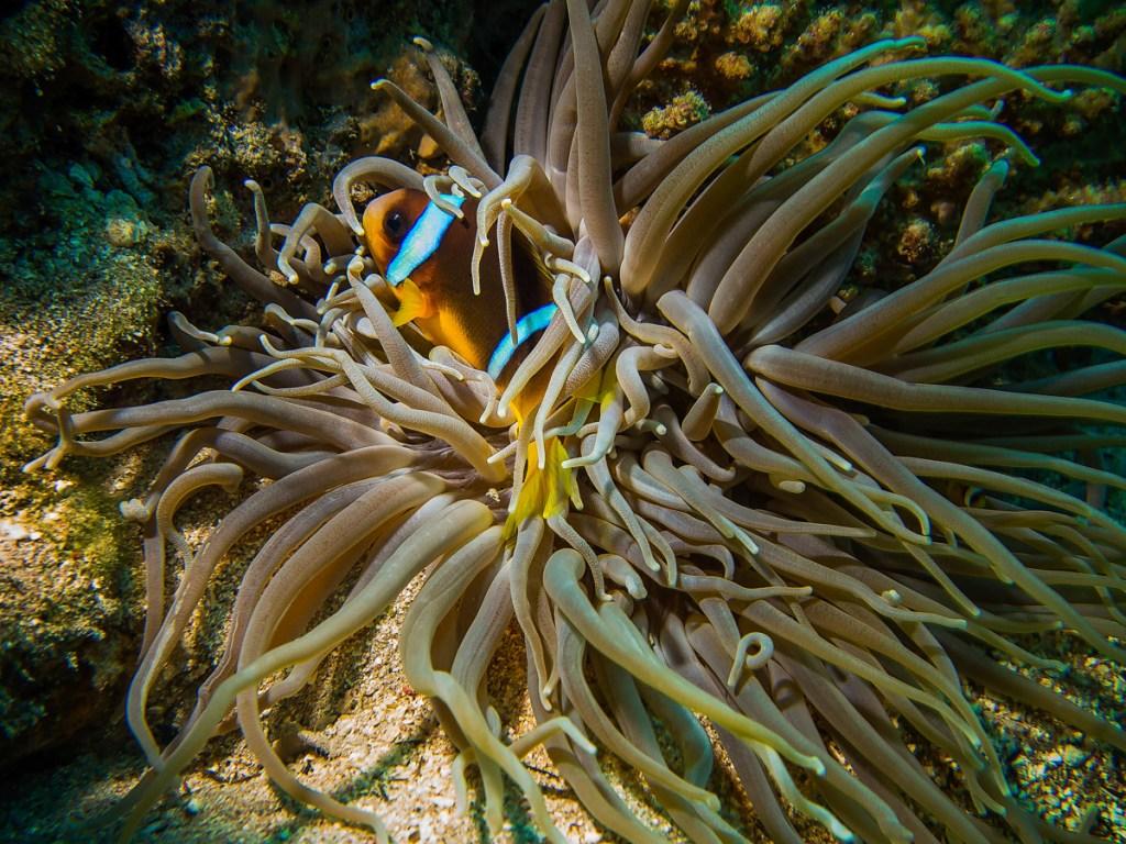 Klovnefisk i koral