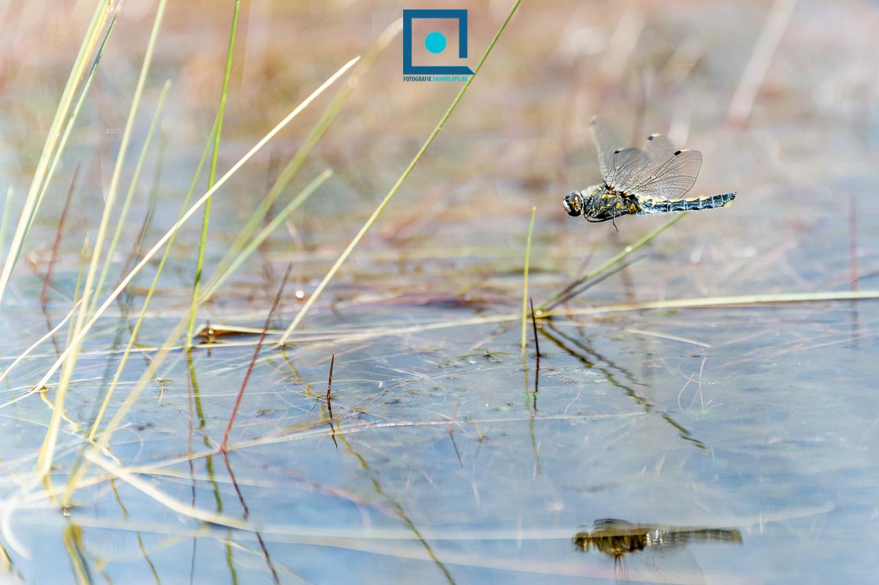 Aan het achterlijf van de Noordse Witsnuitlibel (Leucorrhinia rubicunda) zie je een geel eiklompje hangen. Deze eitjes zet het vrouwtje af in het water door haar achterlijf er kort in te deppen.