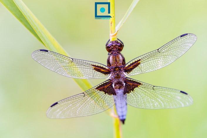 Platbuik (Libellula depressa), een veelvoorkomende libel zowel in tuinen als de wilde natuur, en tegelijk prachtig!