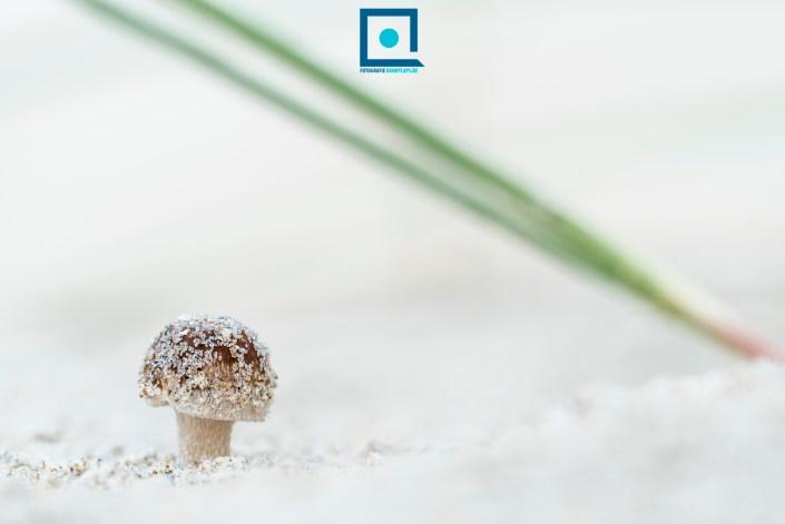 Sommige paddenstoelen groeien op de wortels van helmgras. Ze hebben namelijk een substraat nodig om zich op te kunnen hechten in het duinzand dat voortdurend in beweging is.