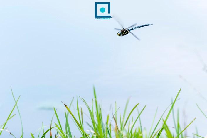 Vliegende Venglazenmaker (Aeshna juncea)