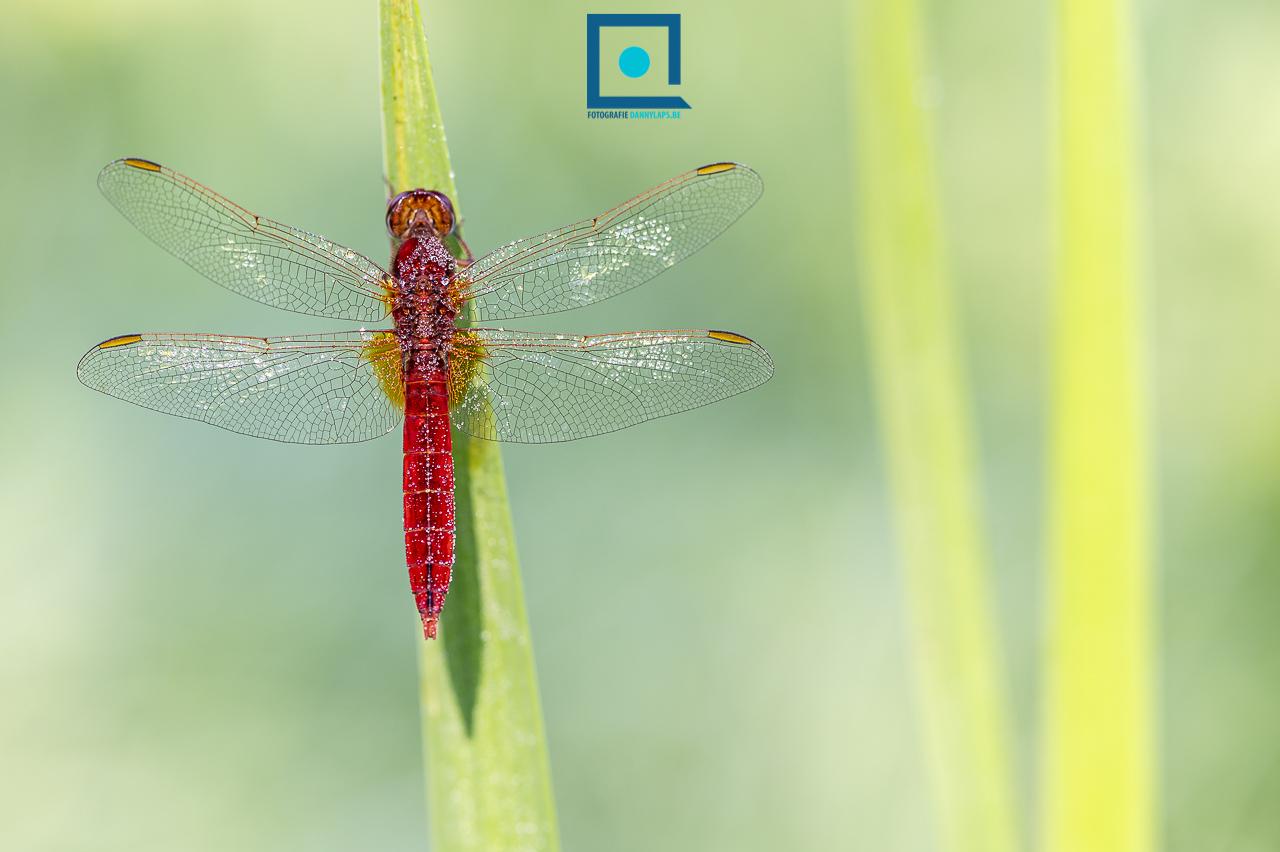 Vuurlibel, Crocothemis erythraea, mannetje. Deze libel valt direct op door de felrode kleur.