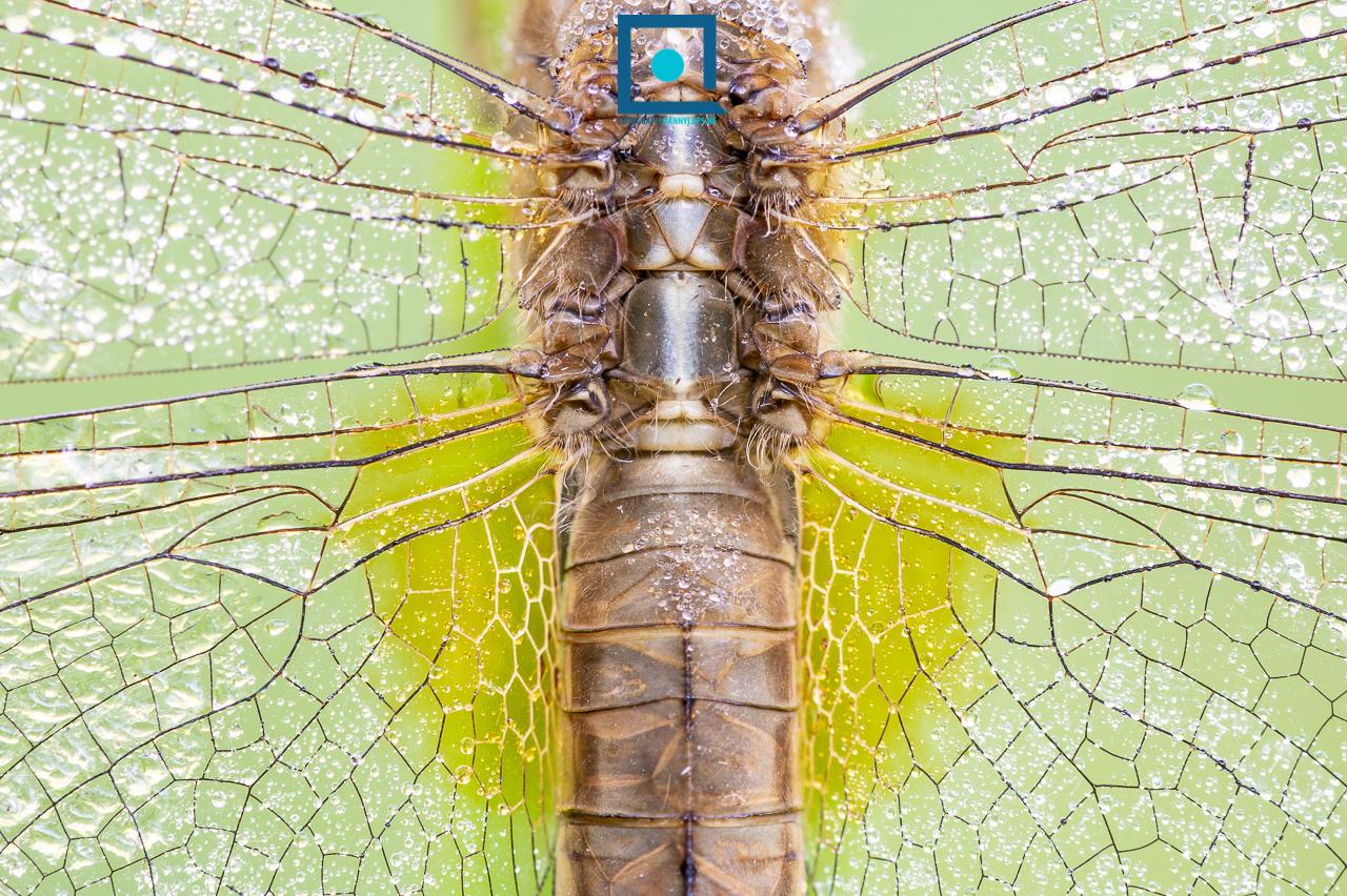 Vuurlibel, Crocothemis erythraea, vrouwtje, detail van vleugels en basisvlek.