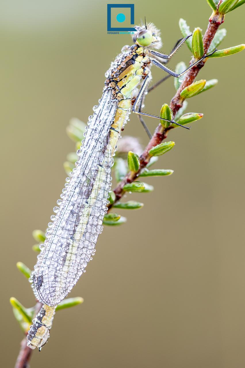 Maanwaterjuffer (Coenagrion lunulatum)