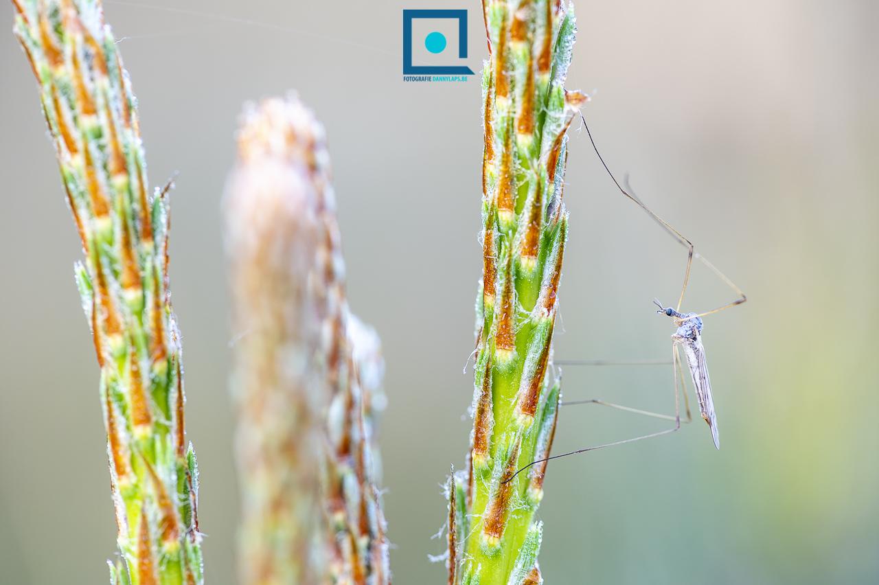 Steltmug (Limoniinae)