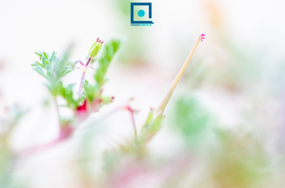 Duinflora: duinreigersbek (Erodium cicutarium subspecies dunense)