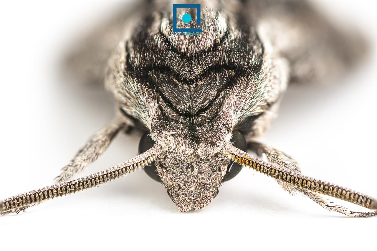 Agrius convolvuli, Windepijlstaart, nachtelijke trekvlinder