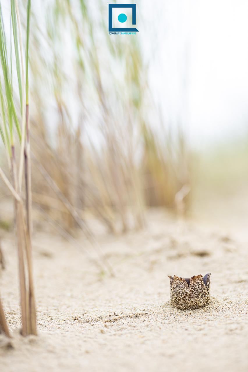 Zandtulpje (Peziza ammophila) - duinpaddenstoel