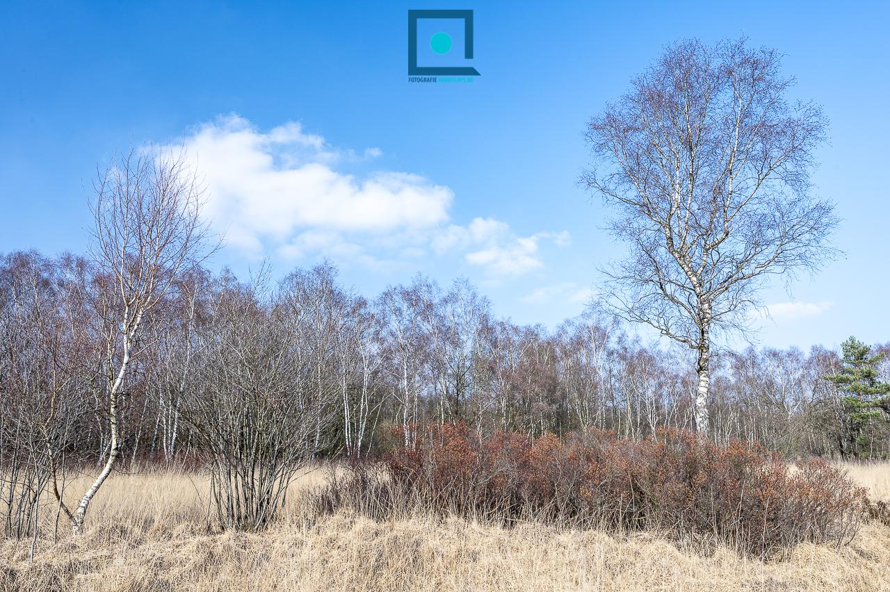 Landschapsfoto van gagelstruweel op vochtige heide met berken. Wilde gagel, Myrica gale, Gagel