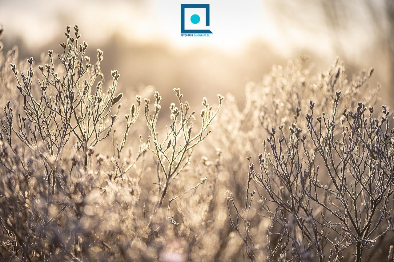 Wilde gagel (Myrica gale), 's ochtends vroeg bij zonsopkomst, met rijp, in tegenlicht.