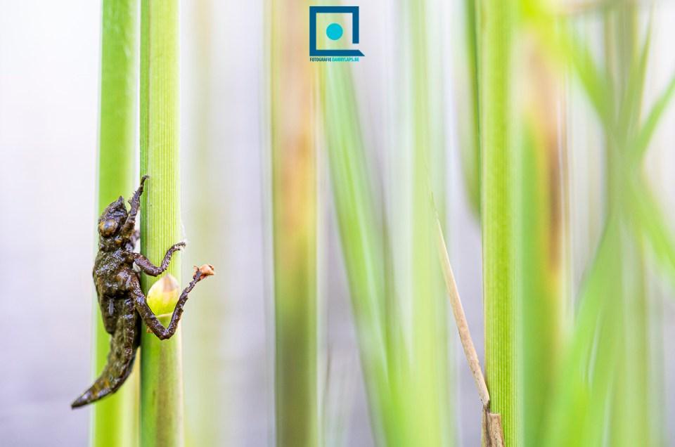 Libellenlarve van de beekrombout (Gomphus vulgatissimus)