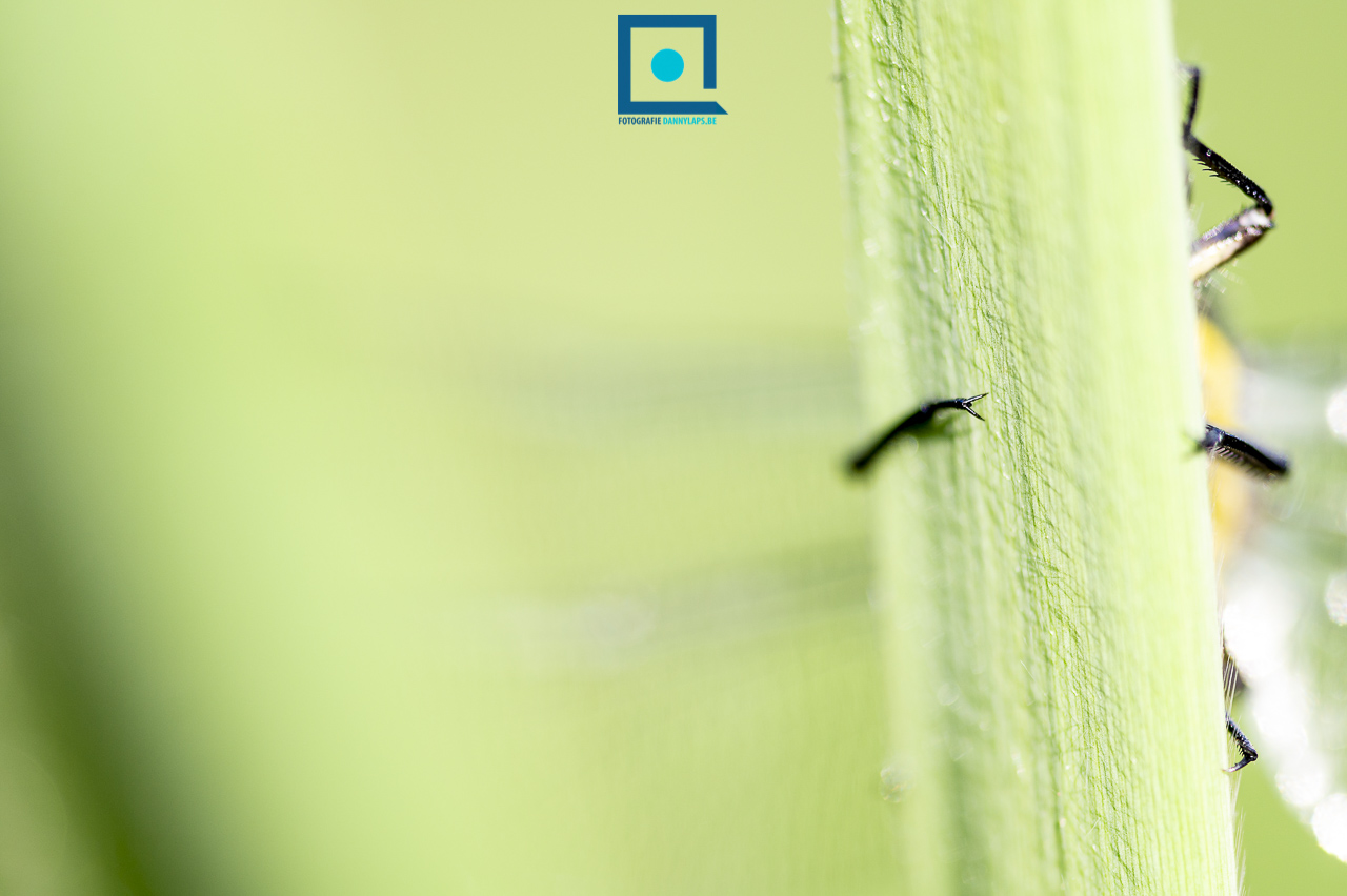 Beekrombout (Gomphus vulgatissimus)