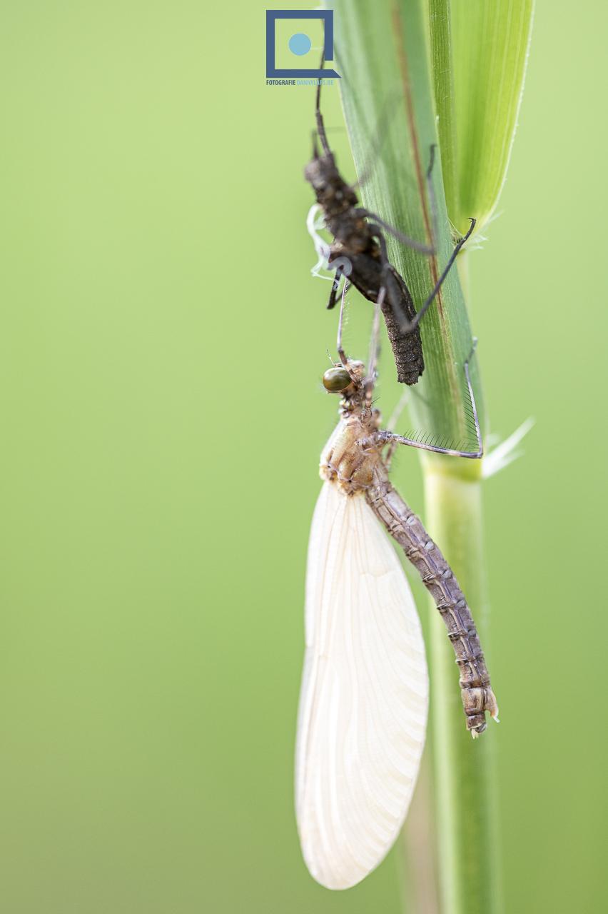 Metamorfose (emergentie) van een beekjuffer (Calopteryx sp.)