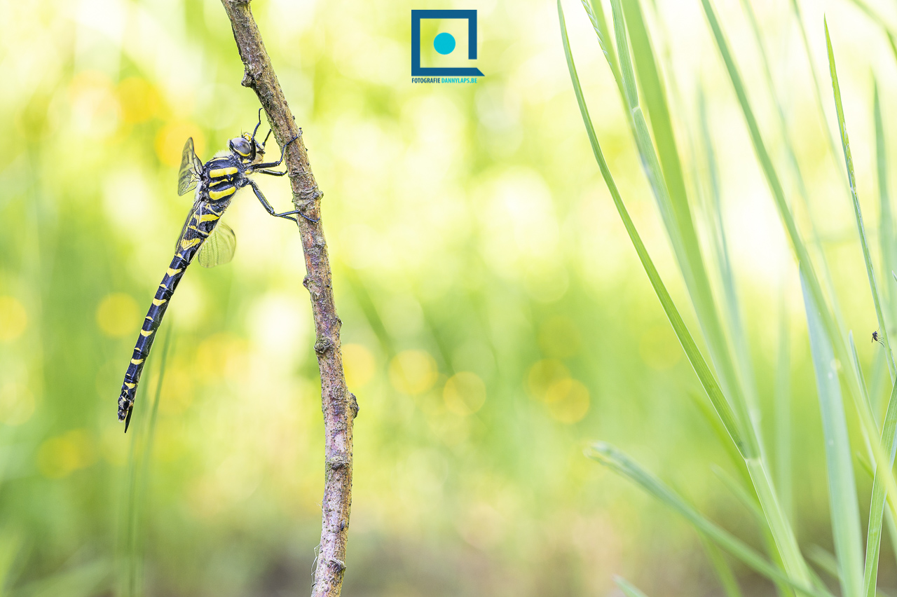 Gewone bronlibel, Cordulegaster boltonii