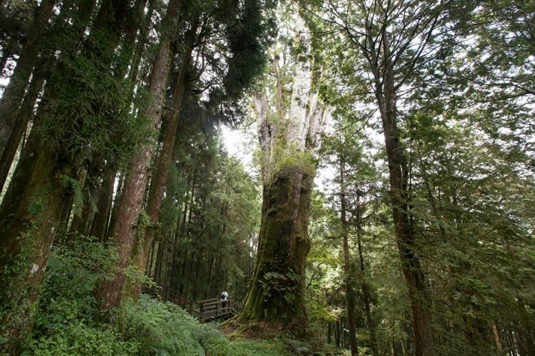 阿里山神木