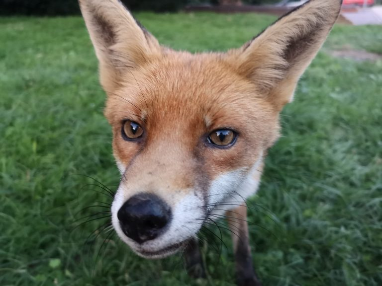 red fox close up of face