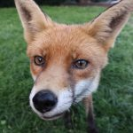Befriending a Wild Fox – My Amazing Encounter