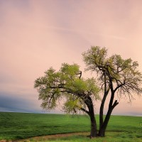 Palouse's Iconic Trees