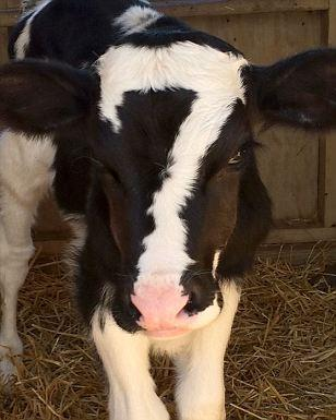 """Cow with """"7""""-shaped marking on face"""