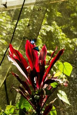 kuranda_birds_butterflies-6