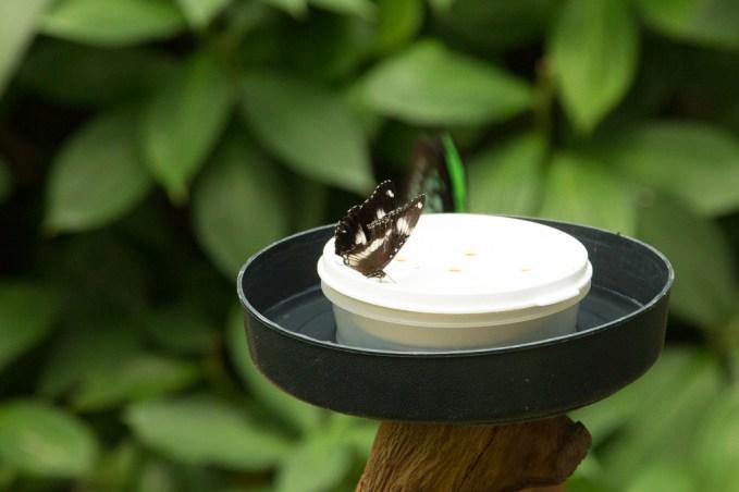 kuranda_birds_butterflies-8