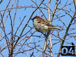 Day 4: House Sparrow watching in the new Slimbridge house