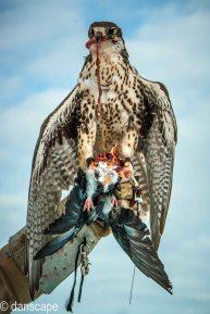 winter falcon (22 of 29)
