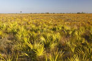 Saw Palmetto (Serenoa repens) field, Kissimmee Prairie Preserve State Park, Florida