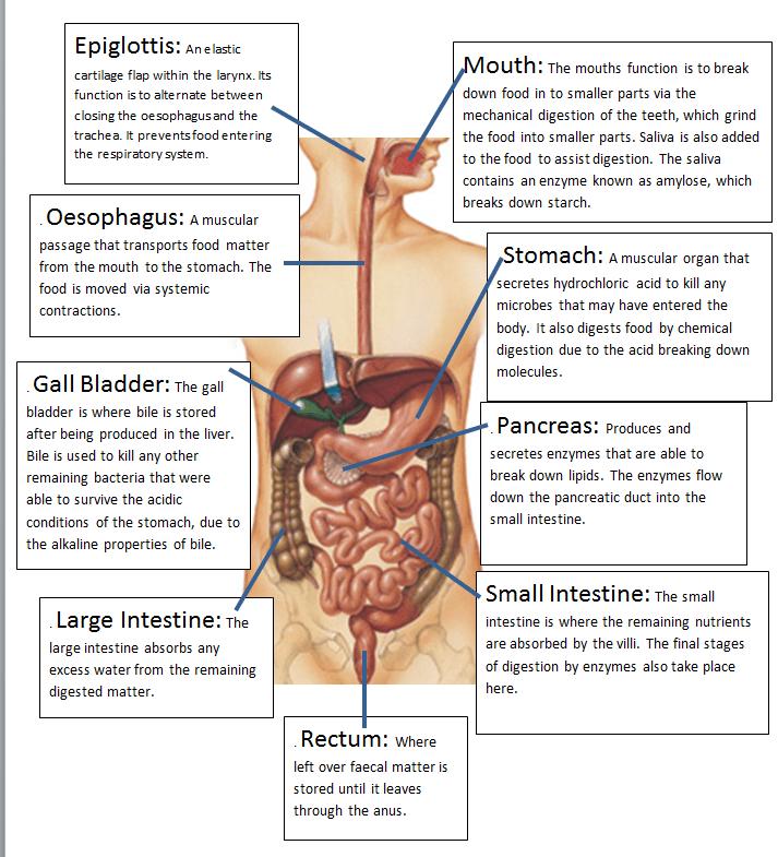 Sugar Digestion Diagram