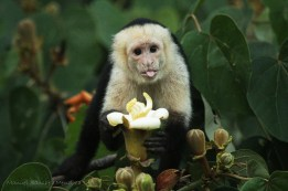 White-faced capuchin  Photographer: Manuel Sanchez Mendoza
