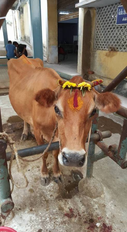 In Hinduism the cow is viewed as a sacred animals.