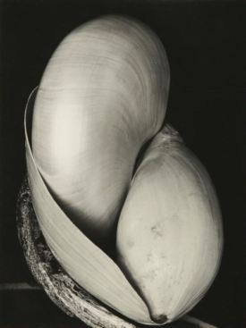 Edward Weston. Shell 1927??????????????????????????????
