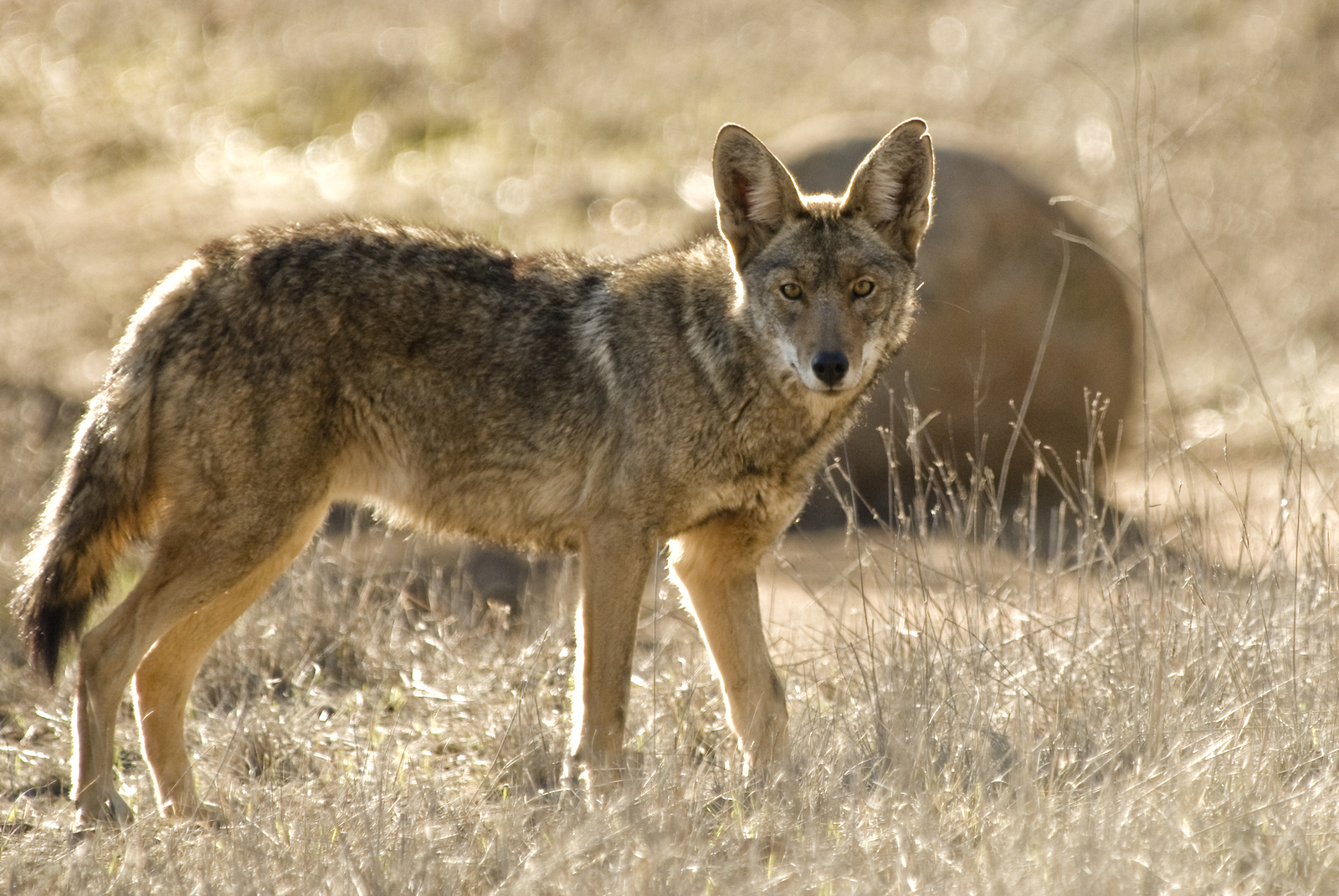 https://i0.wp.com/danthompsongamecalls.com/wp-content/uploads/2014/10/bigstock-Coyote-4186001.jpg