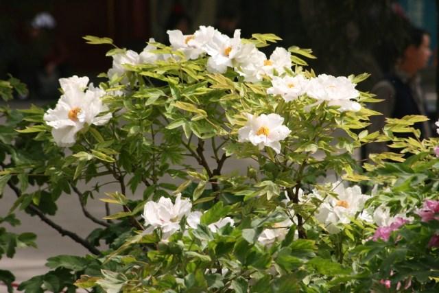 Bujori in Jingshan 3