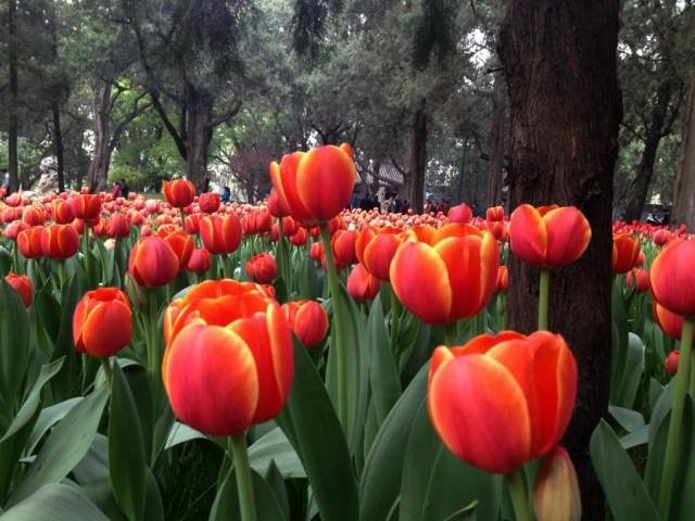 Lalele in Parcul Zhong Shan 2014 5