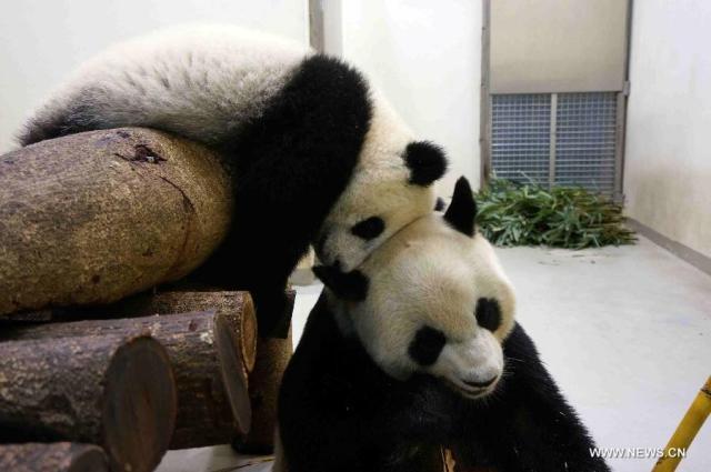 Panda urias 4