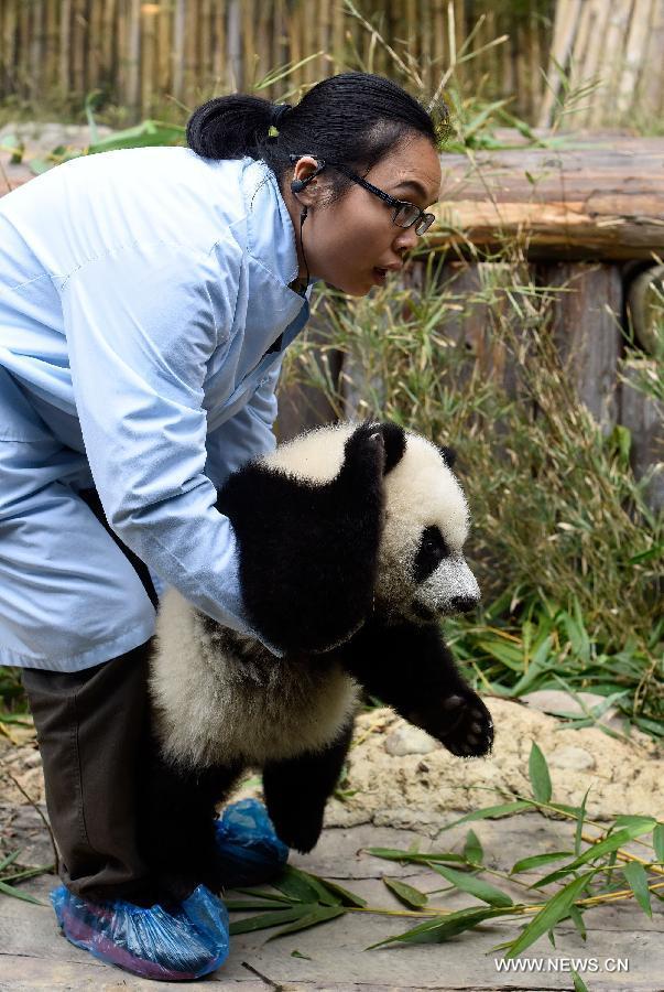 Primii tripleti de urs panda supravietuitori la nastere 3