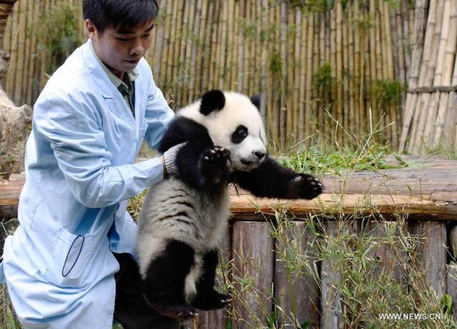 Primii tripleti de urs panda supravietuitori la nastere 5