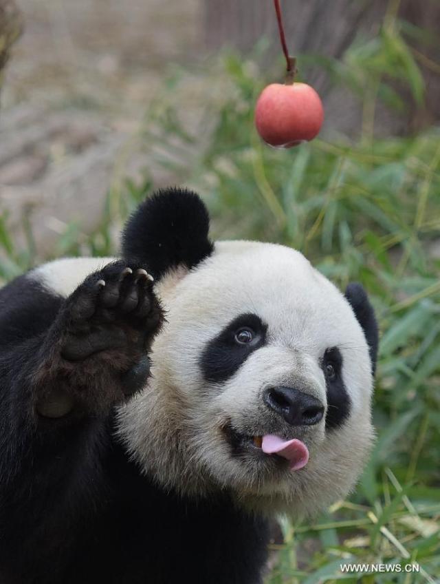 Doi ursi panda imprumutati la Hong Kong 1